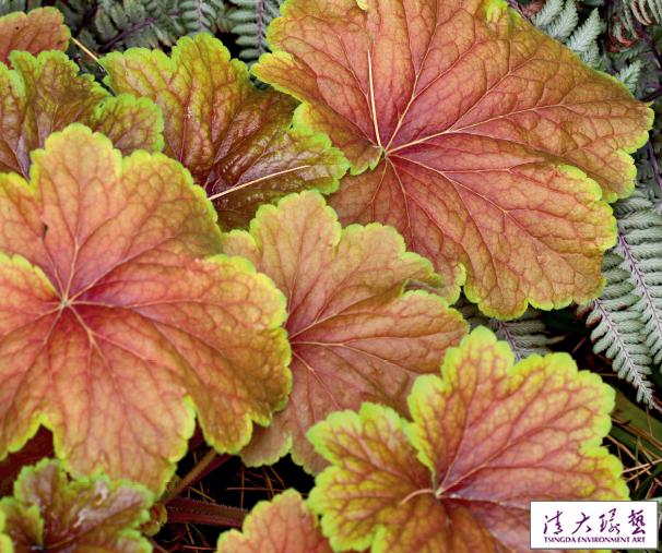新奇的观叶植物 珊瑚钟
