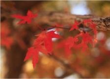 五角枫树苗价格_五角枫观赏期_五角枫生长速度快吗?