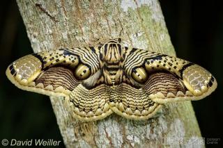 这只飞蛾有着漂亮的翅膀图案,看上去像老虎的眼睛
